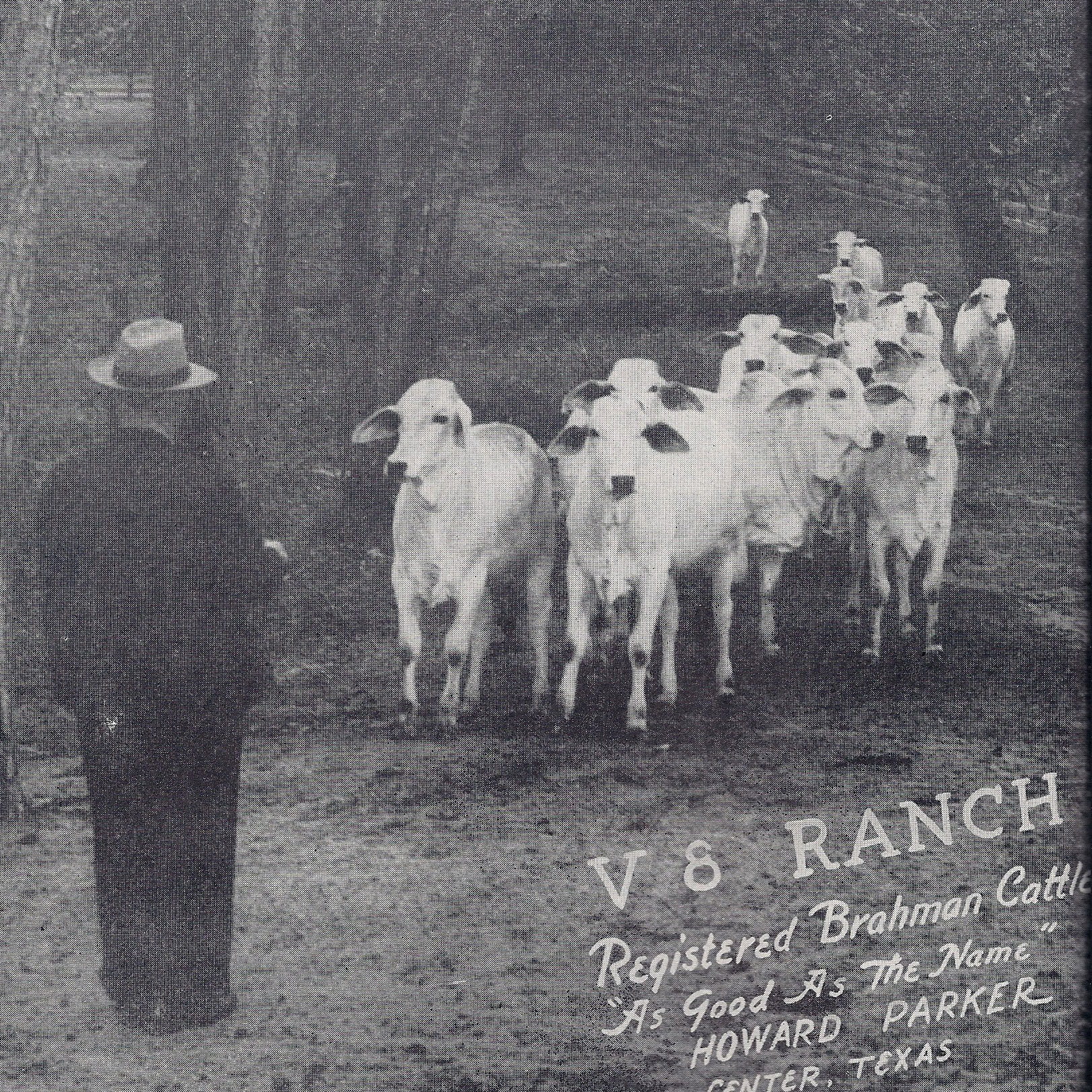 The V8 Story V8 Ranch Brahman Cattle In Hungerford And